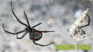 Black Widow Spiders Had A - why you shouldn t fear the black widow spider