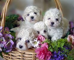 bichon frise dog pictures bichon frise puppies in minnesota experienced breeders of bichon