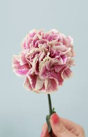 36 best carnation images on pinterest watercolors pink