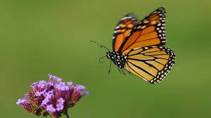 monarch butterfly populations at risk but there s an easy way to