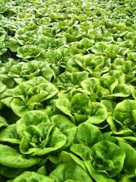 lettuces hydroponics greenhouse ornamental edibles