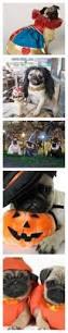 best 25 pug halloween costumes ideas on pinterest pug costume