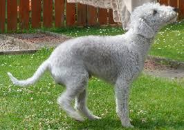 bedlington terrier guard dog bedlington terrier puppies rescue pictures information