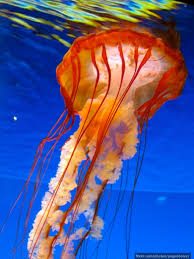jellyfish the world u0027s wateriest animal