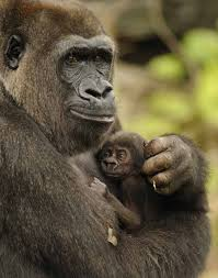 Gorilla by Wild Gorillas
