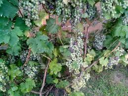 free picture ripe green grapes grapevine tree