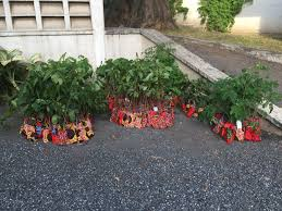 tree planting at the dutch embassy in accra form ghana