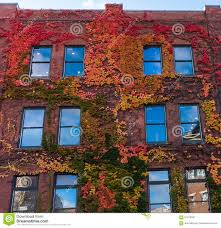 climbing ornamental leaves cover brick urban building stock photo