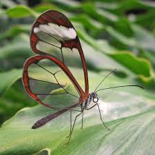 a butterfly with wings as clear as glass cosmos