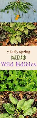 edible edibles 7 early backyard edible plants foraging for edibles