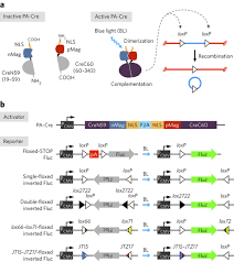 a photoactivatable cre loxp recombination system for optogenetic