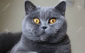 lady cat breeds british shorthair blue color stock photo picture
