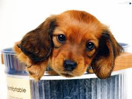 brown sausage dog small dogs wallpapers 1600x1200