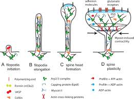 actin in dendritic spines connecting dynamics to function jcb