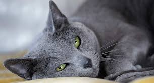 Alabama Traveling With Cats images The russian blue cat a guide to the breed from the happy cat site jpg