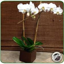orchid delivery sympathy and funeral flower delivery in kailua picket fence florist
