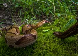 Where To Find Snakes In Your Backyard Snake Encounters Increase During Summer Months Mississippi State