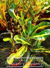 sweet viburnum 200mm pot viburnum croton codiaeum mix 175mm budget wholesale nursery sydney