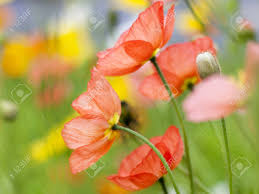 a close up of soft colorful and delicate poppy flowers amongst