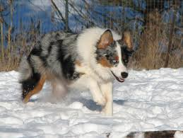 australian shepherd 4 months size faithwalk aussies feeding your aussie