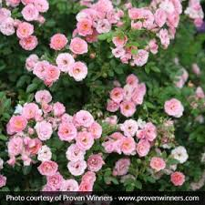 pink and roses pink roses for sale bushes shrubs nature nursery