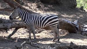 what color is zebra u0027s skin if you shave them youtube