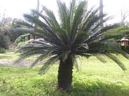 southern tree farm palm tree information and photos