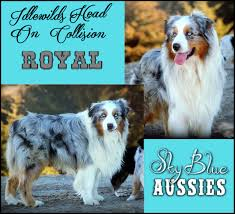 mdr1 australian shepherd australian shepherds sky blue aussies our boys
