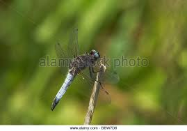 dragonfly resting on a twig stock photos dragonfly resting on a