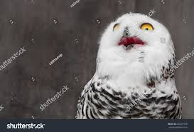 White Owl Meme - white owl shocking meme face stock photo 630827768 shutterstock