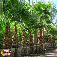 mexican fan palm growth rate mexican fan palm palm tree moon valley nurseries