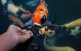how much should i feed my aquarium fish
