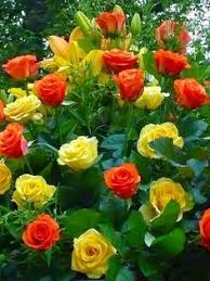 new rose in the garden u2013 van leer rose rose vans and gardens