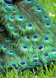226 best indian peafowl images on pinterest peacocks peafowl