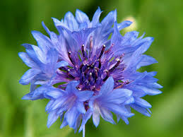 edible blue flowers edible flowers hubbard