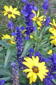 blue flowers 11 blue flowers for the garden gardener s path
