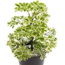 top house plants aralia snow top indoor plants exotic space