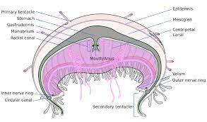 file cross section jellyfish en svg wikipedia