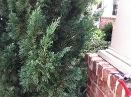 turn overgrown front door plants into nice topiaries