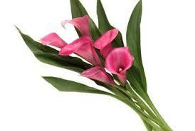calla colors mini calla lilies information home guides sf gate