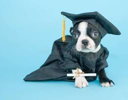 dog graduation cap and gown graduation puppy stock photo image of terrier white 41061388
