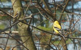 lebanon lebanon new hampshire backyard birding we have had a
