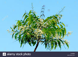 medicinal plant green neem tree branch with leaves and flowers