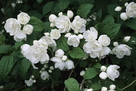 white flower 10 best shrubs with white flowers