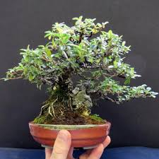 shohin really small tree fascination bonsai tree pty ltd