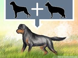 australian shepherd rottweiler mix puppies for sale 3 ways to identify a rottweiler wikihow