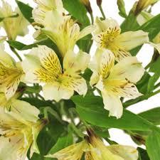 yellow lilies yellow bulk peruvian lilies