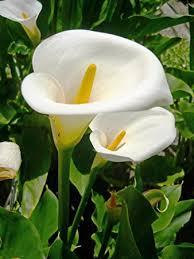 amazon com 5 white calla lily bulbs albomaculata patio lawn