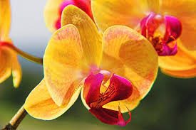 Yellow Orchid Beautiful Yellow Orchid I Throw Pillow For Sale By Mariola Bitner