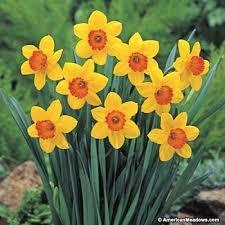 top 25 best daffodil bulbs ideas on pinterest planting daffodil